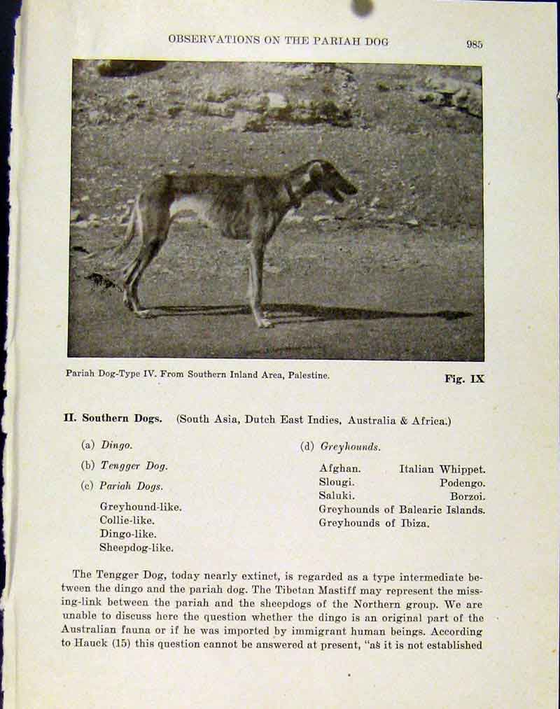 Print Pariah Dog Southern Inland Palestine Photo Hound 027101 Old Original