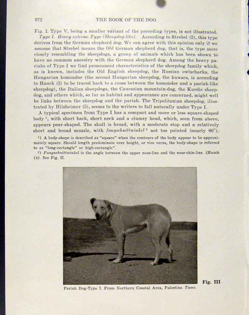 Print Pariah Dog Northern Coastal Palestine Photo 047101 Old Original