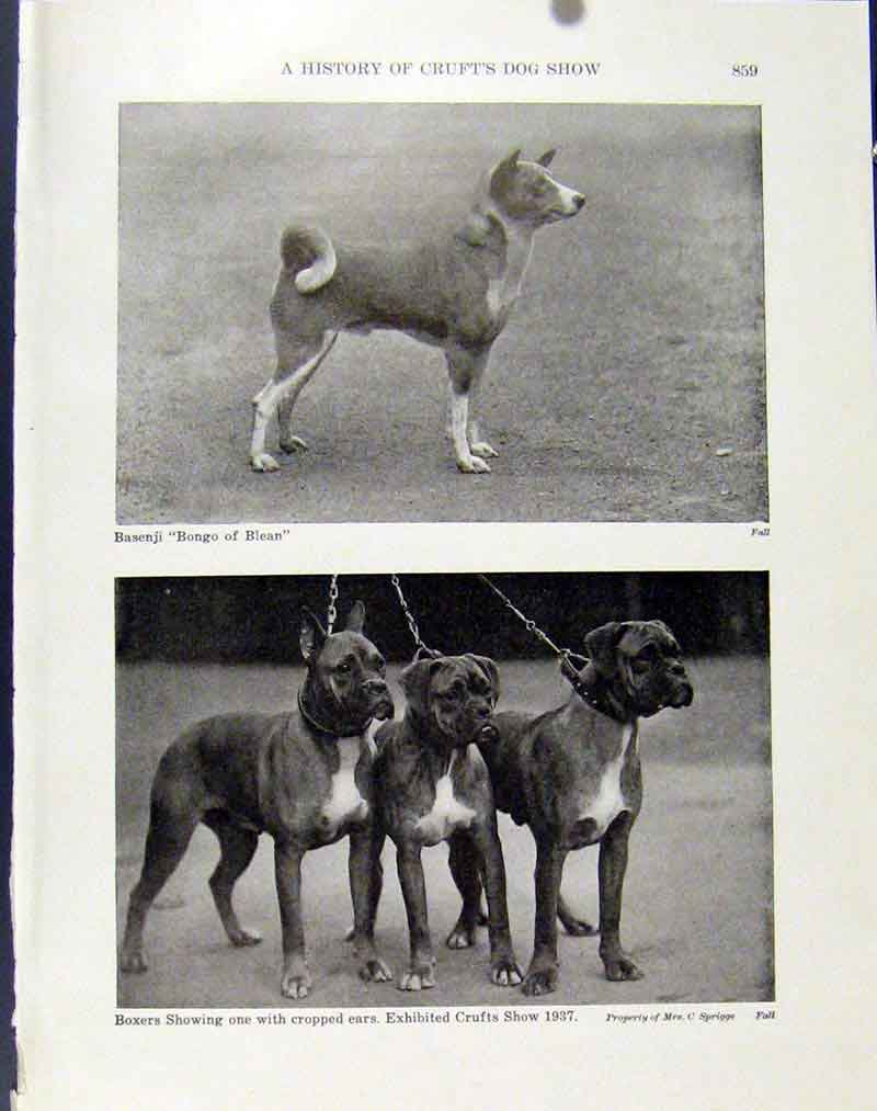 Print History Crufts Dog Show Basenji Boxers Photo 197101 Old Original