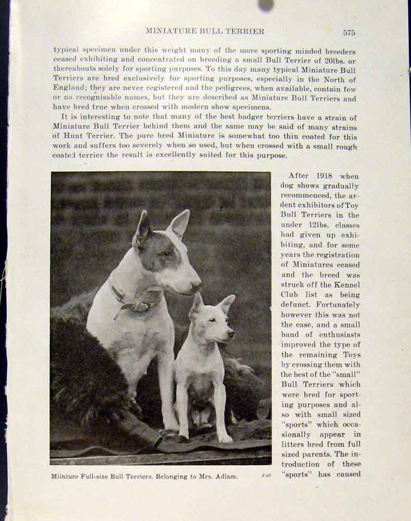 [Print Miniture Full Size Bull Terriers Dogs Hounds Pets Photo 797101 Old Original]