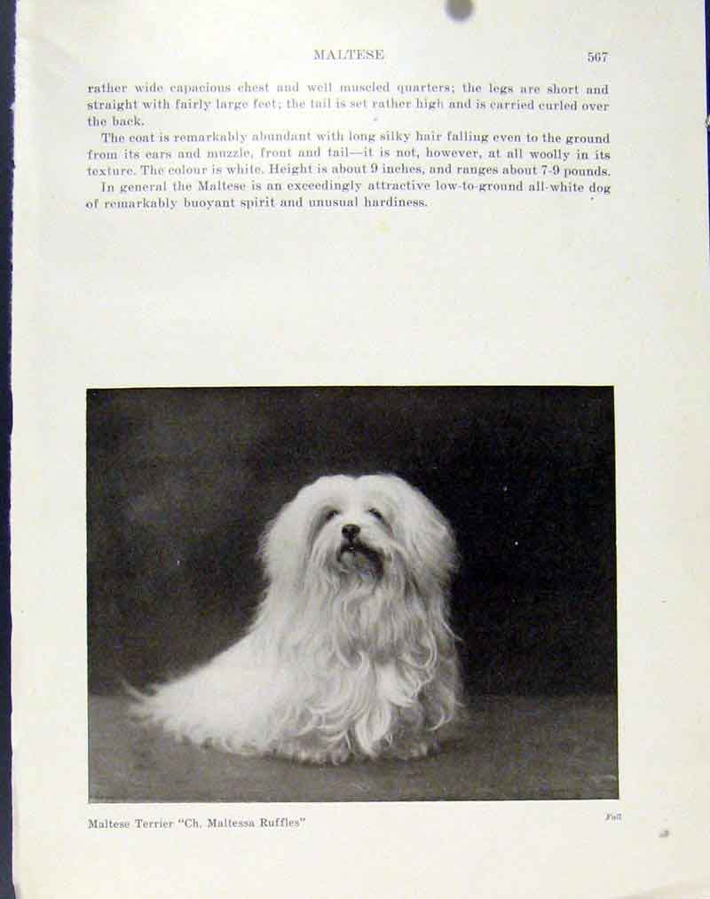 [Print Dog Photograph Maltese Terrier C1940 Fine Art 817101 Old Original]
