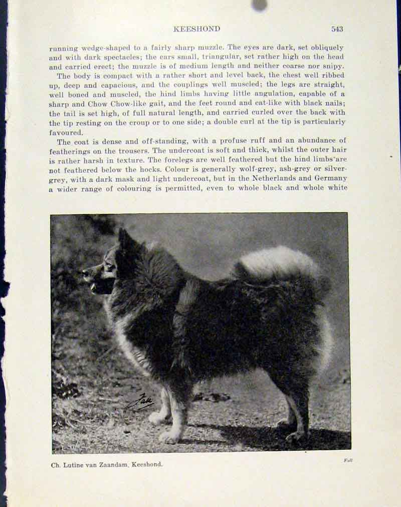 [Print Keeshound Photo Dog Hound Pet Animal Fine Art 907101 Old Original]
