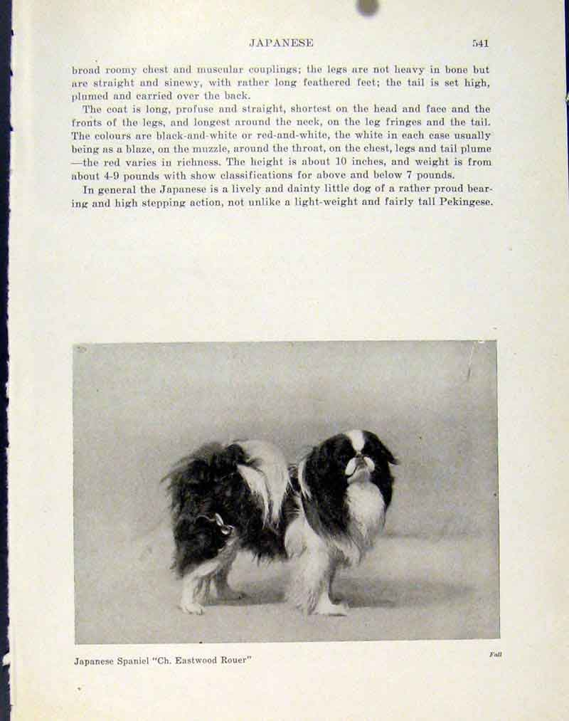 Print Japanese Spaniel Fine Art C1940 Photo Dog Pet 917101 Old Original