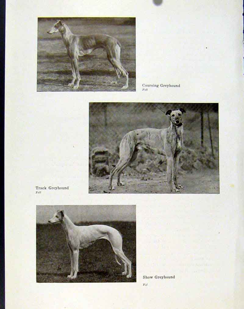 [Print Coursing Greyhound Track Show Dog Hound Pet Animal 017101 Old Original]