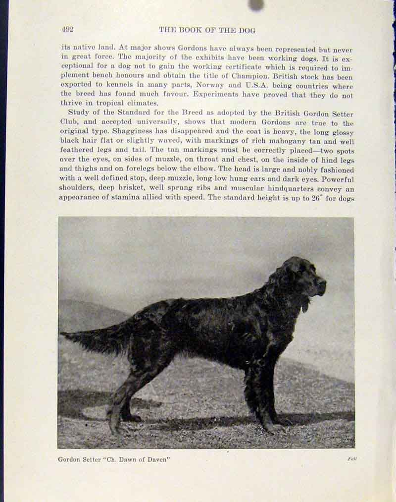 Print Gordon Setter Dog Hound Pet Photograph Art 047101 Old Original