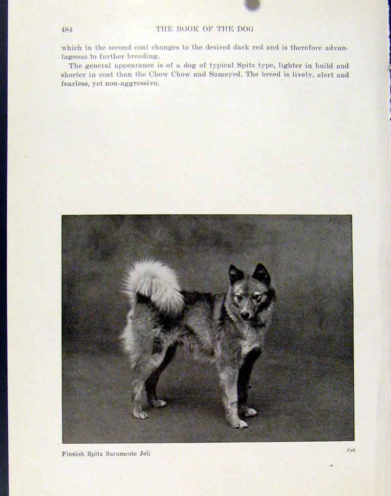 [Print Finnish Spitz Sarumcote Jeli Dog Hound Photo 1940 087101 Old Original]