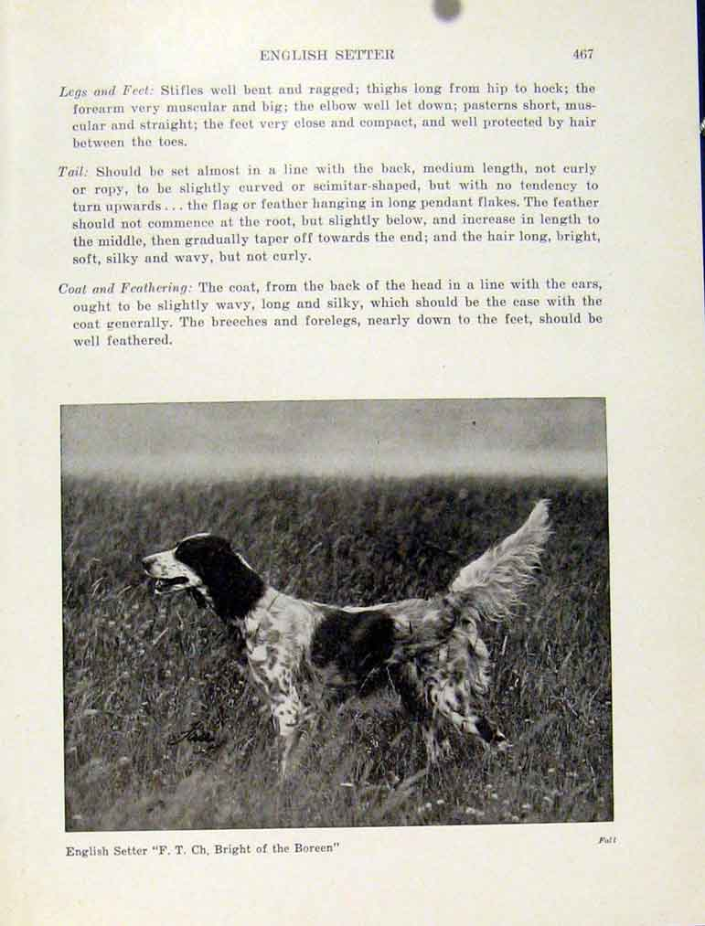 Print Photo English Setter Dog Hound Pet Animal Art 147101 Old Original