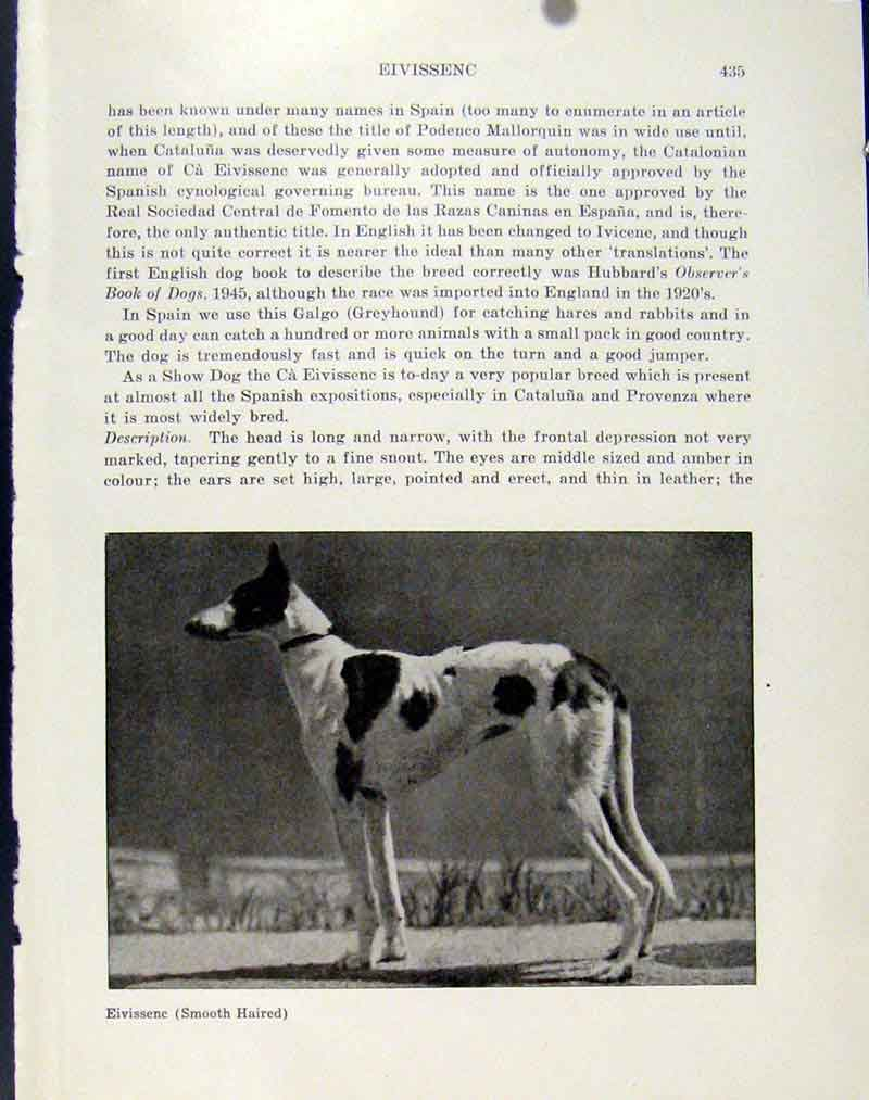 Print Eivissenc Smooth Haird Dog Animal Pet Photo 187101 Old Original