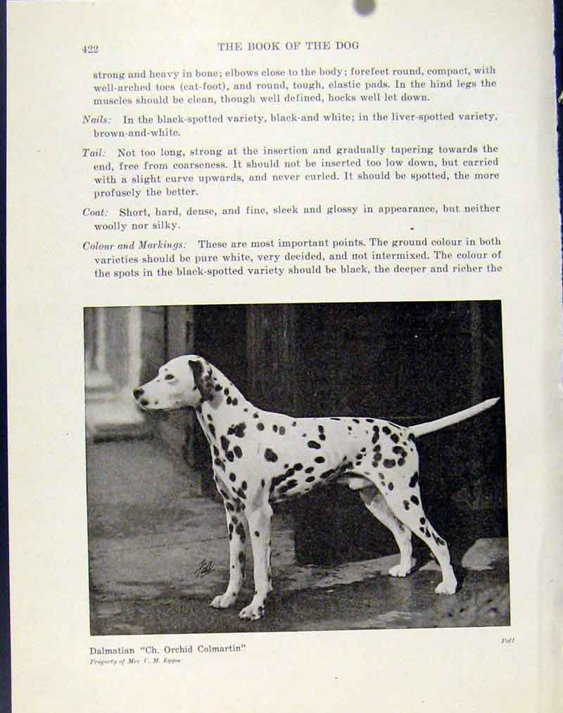 Print Dalmatian Fine Art Photo Dog Hound Animal 227101 Old Original