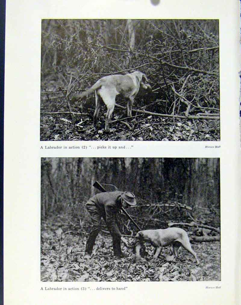 Print Labrador Dog Action Photo Shoot Heel Birds 67A7101 Old Original
