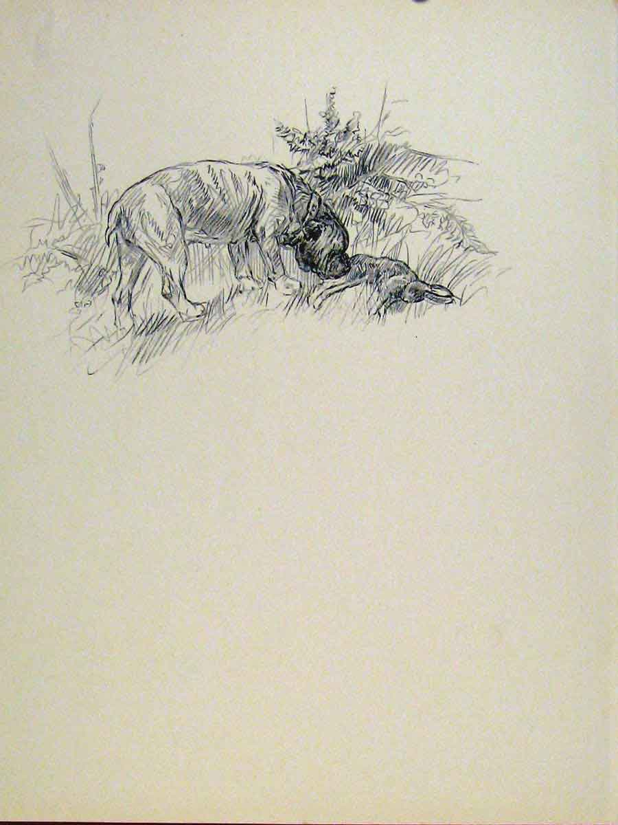 Print Sketch Etching Fine Art Pencil Drawing Dog Hound Pet 63A7131 Old Original