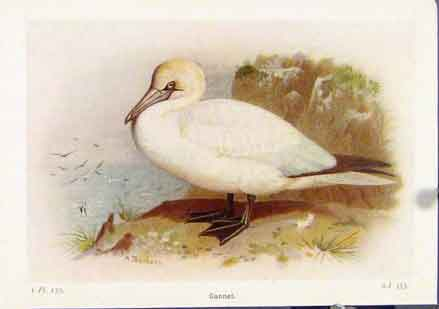 Print Gannet Color Art Fine Birds C1921 017161 Old Original