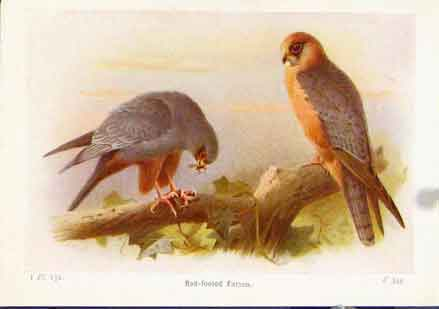 Print Red Foot Falcon Birds Color Fine Art 1921 047161 Old Original