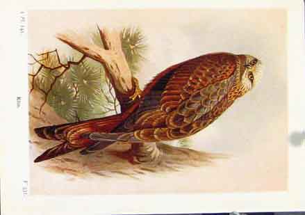 Print Kite Color Bird Fine Art C1921 Animal 107161 Old Original