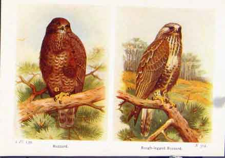 Print Buzzard Rough Legged Birds Fine Art C1921 157161 Old Original