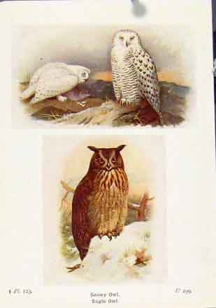 Print Snowy Owl Eagle Fine Art C1921 Color 197161 Old Original