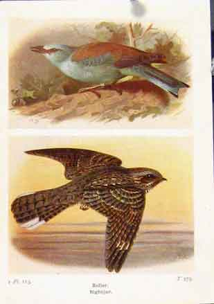 Print Roller Nightjar Color Fine Art Birds 1921 247161 Old Original