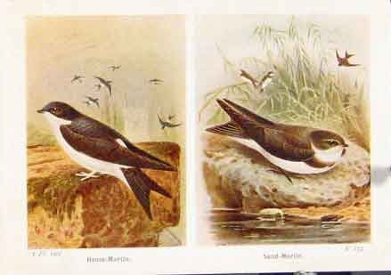 Print House Martin Sand Fine Art C1921 Bird 297161 Old Original