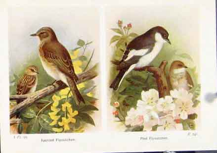Print Spotted Flycatcher Pied Fine Art C1921 317161 Old Original