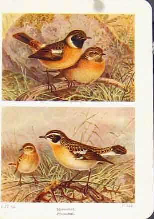 Print Stonechat Whinchatfine Art Bird 337161 Old Original