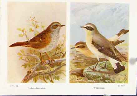 Print Hede Sparrow Wheatear Fine Art C1921 347161 Old Original