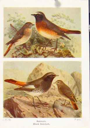 Print Redstart Black Color Fine Art C1921 Birds 377161 Old Original