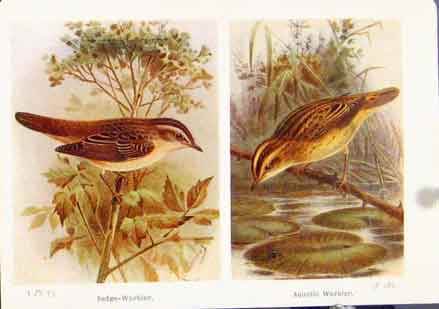 Print Sedge Warbler Aquatic Fine Art Birds 1921 437161 Old Original