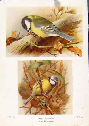 Print Great Titmouse Fine Art C1921 Bird Color 517161 Old Original