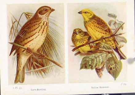 Print Corn Bunting Yellow Hammer Birds Color Art 637161 Old Original