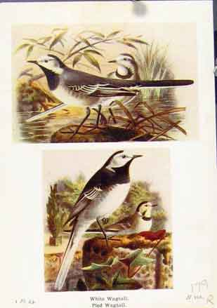 Print White Wagtail Pled Shore Lark Lapland Bunting Bird Art 79R7161 Old Original