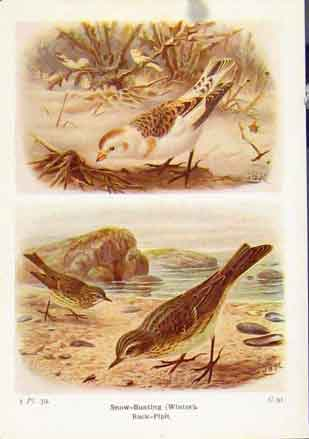 Print Snow Bunting Rock Pipit Fine Art C1921 897161 Old Original