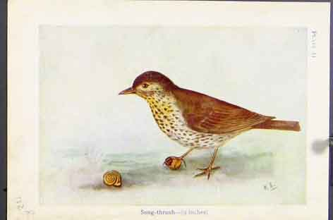 Print Song Thrush Missel Birds Color C1920 Art 02R7171 Old Original