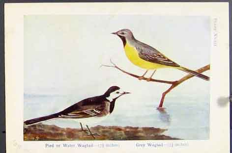 Print Pied Water Wagtail Grey Sand Martin House Bird 09R7171 Old Original