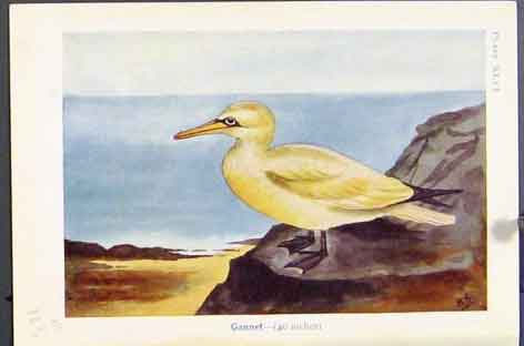 Print Gannet Blackheaded Gull Common Bird Color 23R7171 Old Original