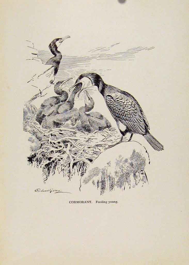 Print Birds Sketch Cormaorant Feeding Young C1923 167191 Old Original