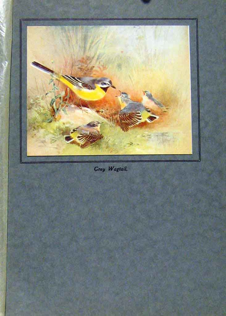 Print Birds Color Grey Wagtail Fine Art 427191 Old Original