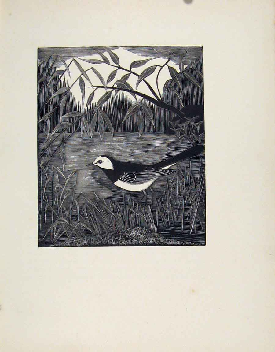 Print Pied Wagtail Bird Limited Edition Birds Described 057211 Old Original