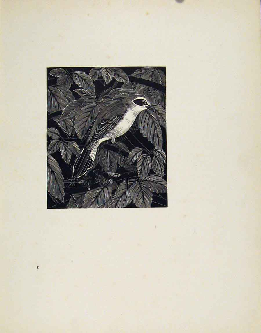 Print Red Backed Shrike Limited Artist Description Bird 067211 Old Original