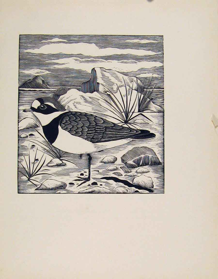 Print Ringed Plover Limited Ed Edition Artist Editorial 167211 Old Original