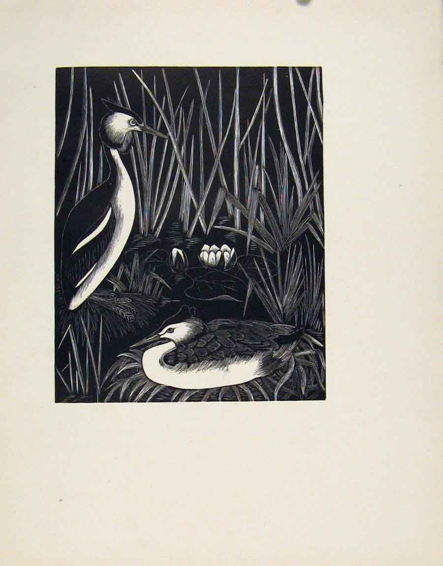 Print Limited Edition Great Crested Grebe Editorial 187211 Old Original