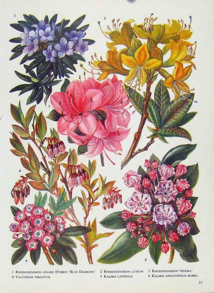 Print Rhododendron Kalmia Vaccinium Flower Plant Color 577221 Old Original