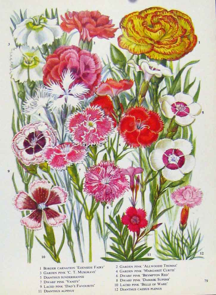 Print Carnation Musgrave Vanity Pink Color Flower 797221 Old Original