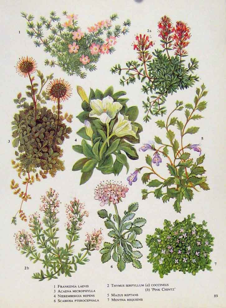 Print Frankenia Acaena Fine Art Flower Plant Color 897221 Old Original