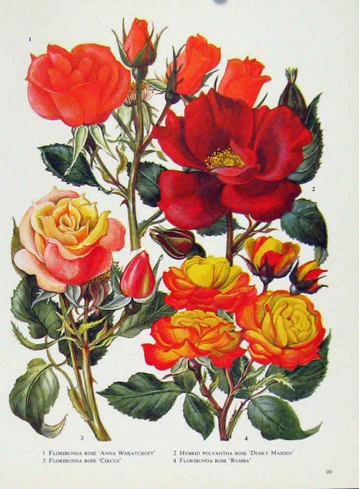 Print Floribunda Hybrid Fine Art Flower Plant Color 997221 Old Original