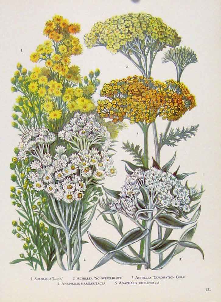 Print Solidago Achillea Anaphalis Color Flower Plant 517221 Old Original