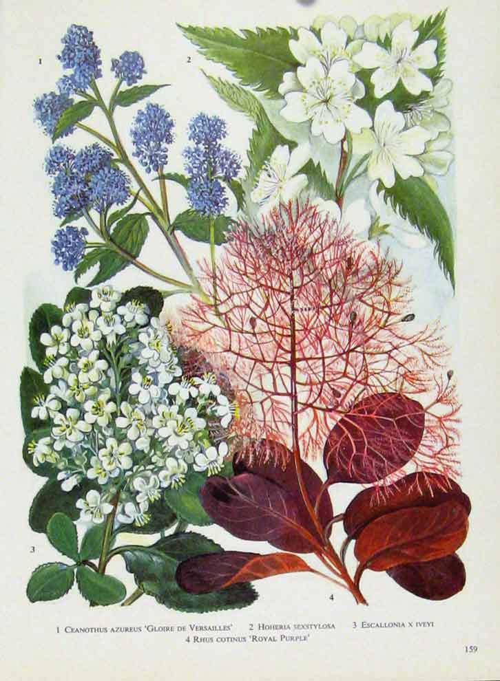 Print Ceanothus Hoheriaw Escallonia Rhus Flower Color 597221 Old Original