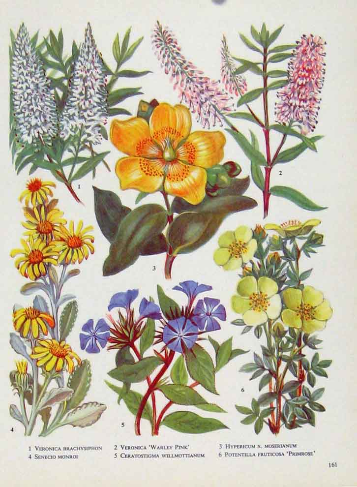 Print Veronica Senecio Hypericum Plant Flower Color 617221 Old Original