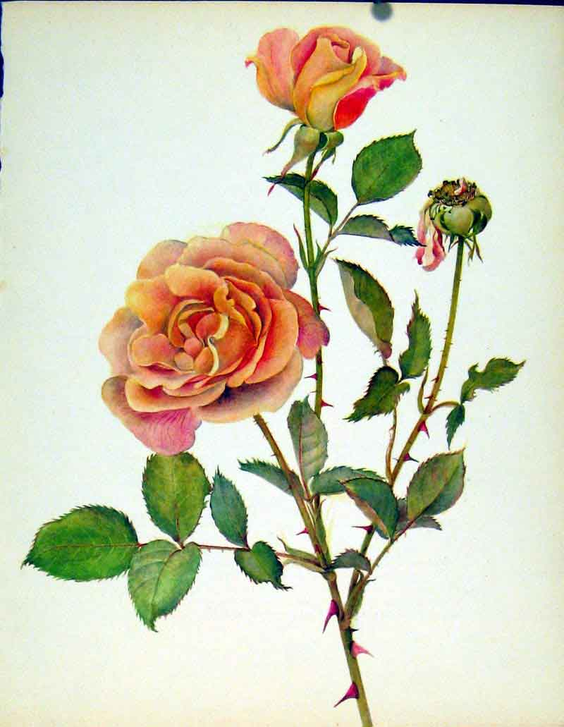 [Print President Herbert Hoover Beautiful Roses By J Kaplick 787231 Old Original]