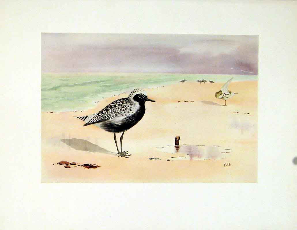 Print Fine Art Grey Plover Birds 1924 Color 117241 Old Original