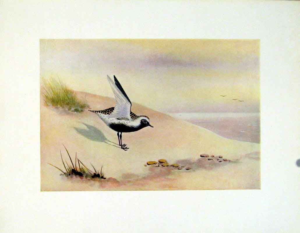 Print American Golden Plover Color Fine Art C1924 127241 Old Original